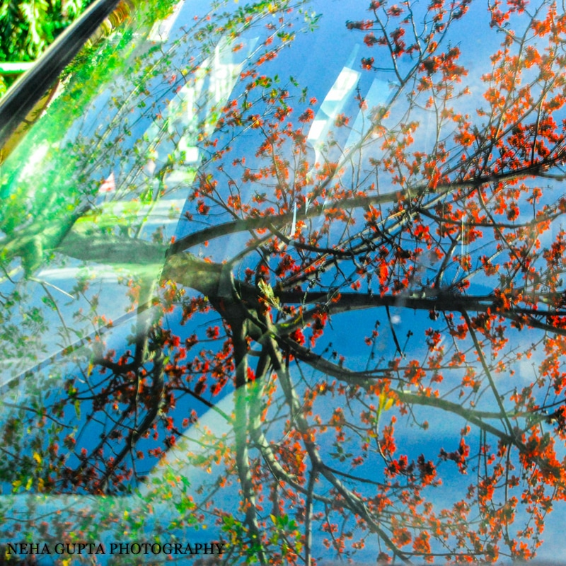 Parrot tree reflection on car windshield