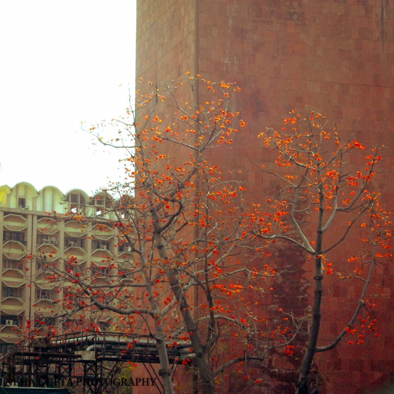 Palash tree at janpath