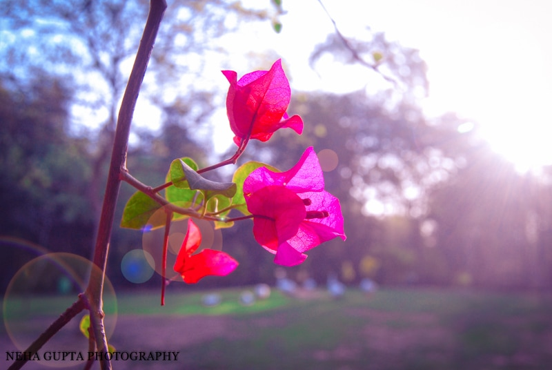 Pink bougainvillea trees, Lodi Gardens, Delhi India.