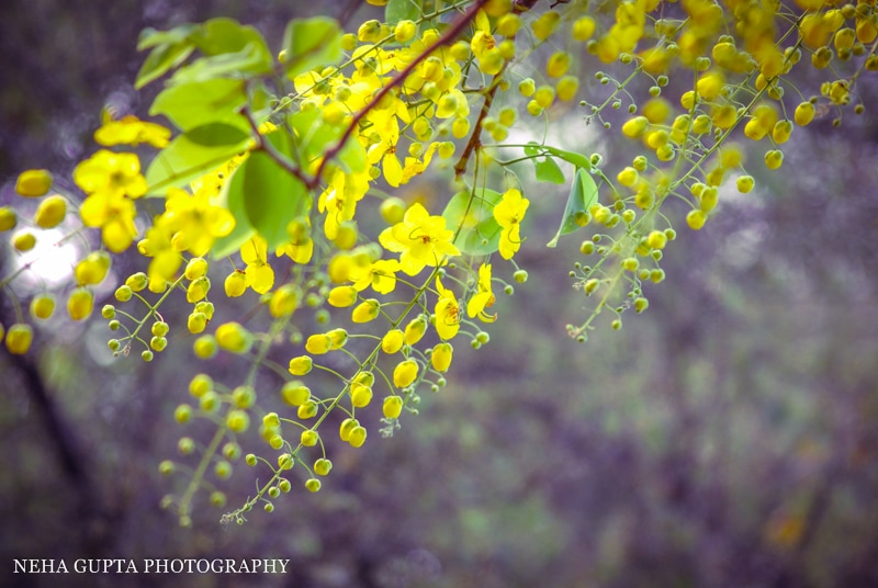 Macro golden shower tree flowers