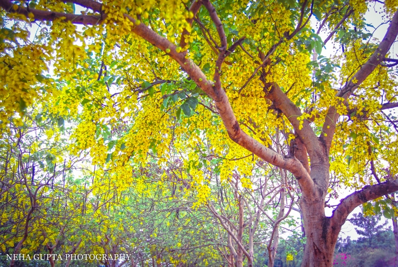 Golden shower tree by Neha Gupta